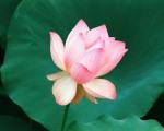the_lotus_flower,_hawaii