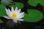 White-Lotus_02