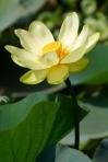 yellow-lotus-2402