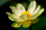 yellow_lotus_2397_8rdia7ij7dwkcc4k4kg0wg088_bogk2ejphzc444swccs8ko8cs_th