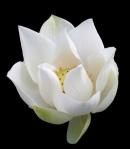 09white_lotus