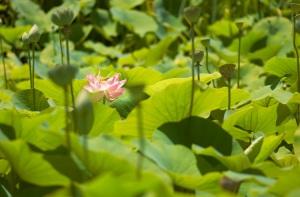 2005-01-19-lotus-pond-2
